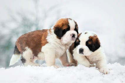 large breed puppies