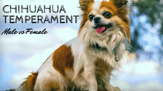Chihuahua Temperament Male Vs Female And More-8977