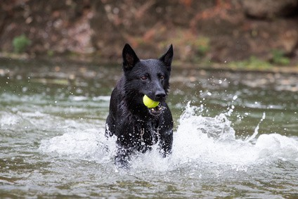 Black German Shepherd Temperament And Other Facts Crazy Pet Guy