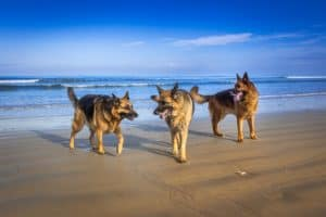 different types of german shepherds