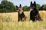 Why Are Some German Shepherds Black