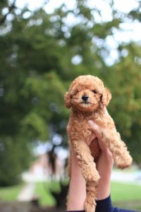 What Age Do Poodles Stop Growing?