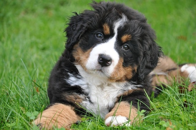 Best Food For Bernese Mountain Dog Puppies Updated For 2019