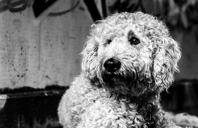 Best Dog Food for Goldendoodles 2020