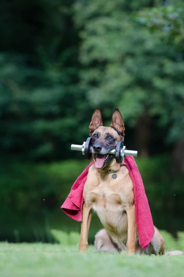 belgian malinois husky mix doing trick