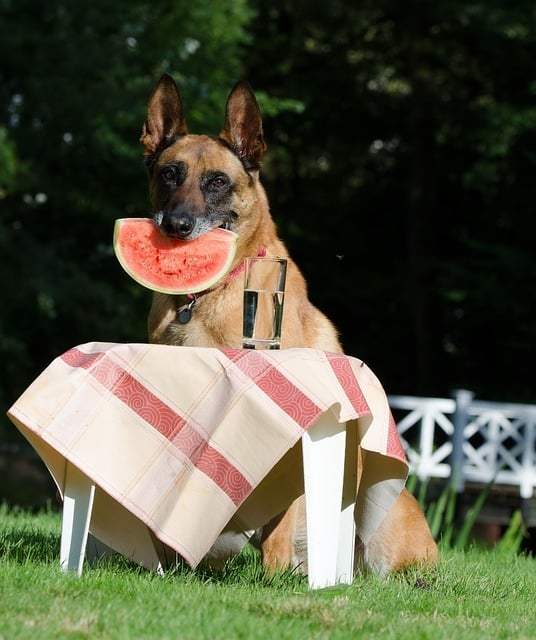 belgian malinois husky mix eating watermelon