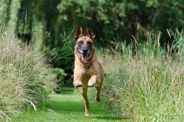belgian malinois husky mix running
