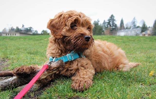 Best Dog Food For Labradoodles 2019 Guide Crazy Pet Guy
