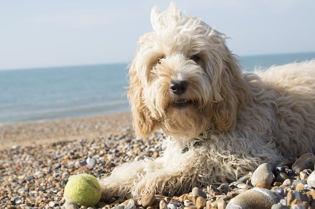 cockapoo on a beach