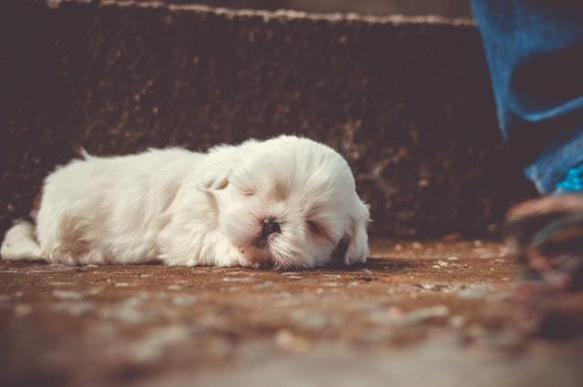 havanese shih tzu mix sleeping