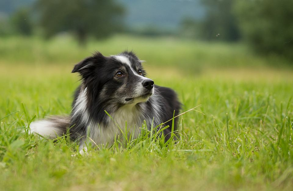 lab border collie mix lyng on the grass