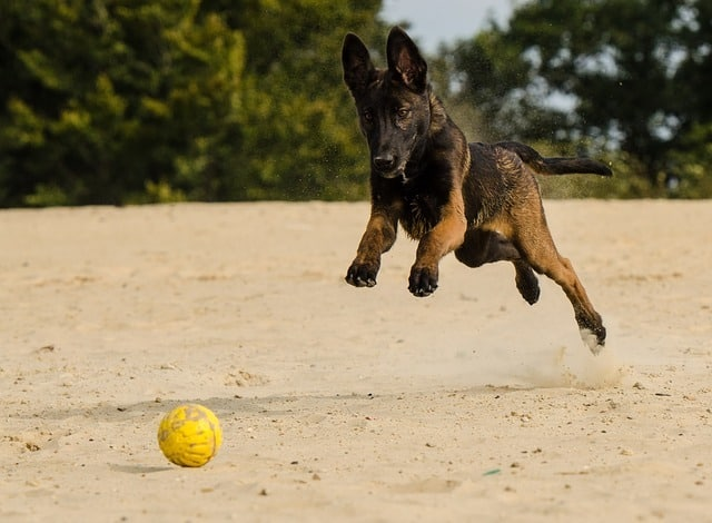 Belgian Malinois puppy playing with a beach ball