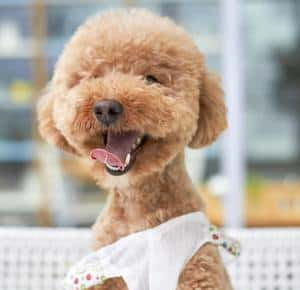 brittany poodle mix smiling