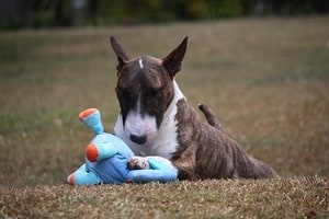 best food for bull terrier