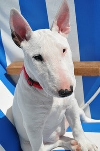 best dog food for bull terrier