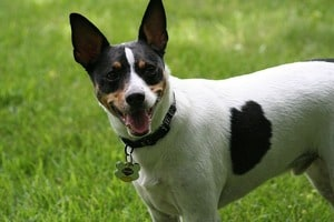 rat terrier playing outside