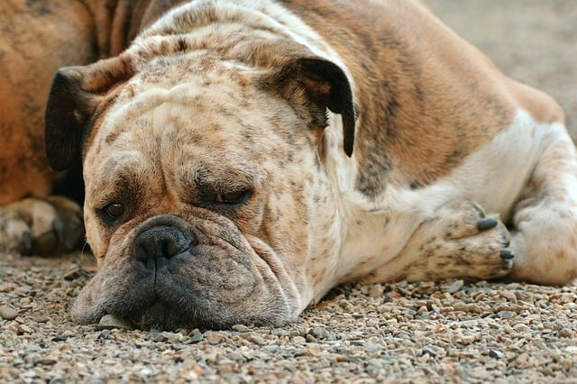boxer dog lying on the ground