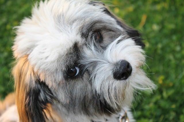 havanese dog up close