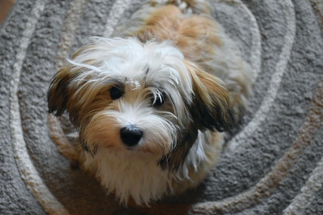 havanese dog at home