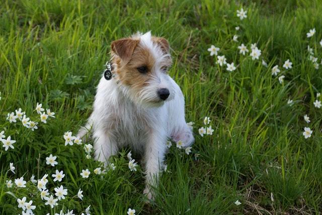 jack russell poodle mix in the field