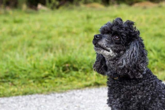 rottweiler poodle mix outside