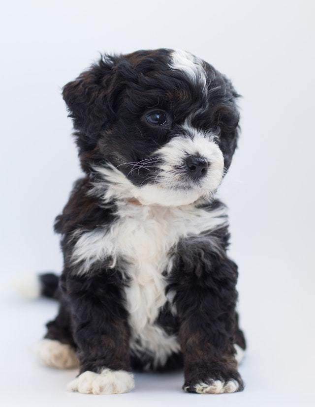 rottweiler poodle mix puppy