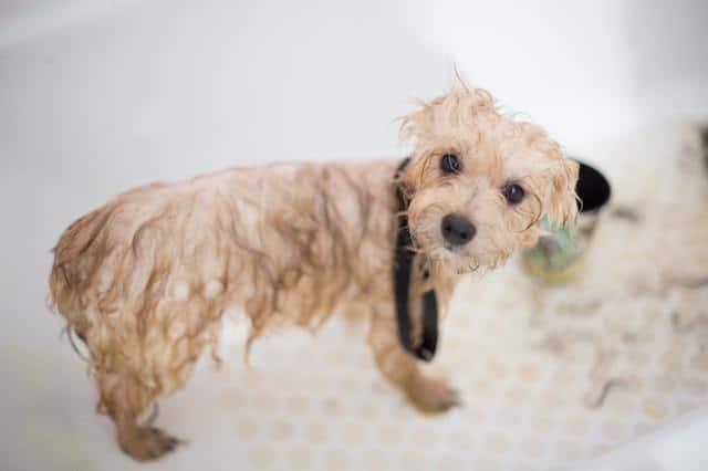 how often do beagles need a bath