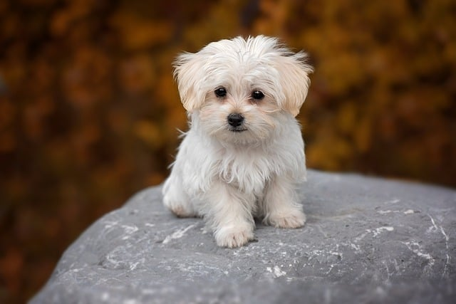what is a morkie mixed with