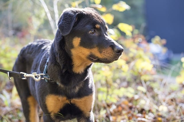 77+ Rottweiler German Shepherd Mix For Sale Near Me